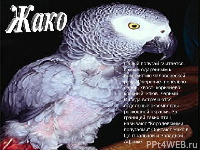 """Серый попугай считается самым одарённым к восприятию человеческой речи. Оперение- пепельно-серое, хвост- коричнево- красный, клюв- чёрный. Иногда встречаются отдельные экземпляры роскошной окраски. За границей таких птиц называют """"Королевскими попуг…"""