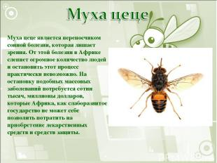 Муха цеце является переносчиком сонной болезни, которая лишает зрения. От этой б