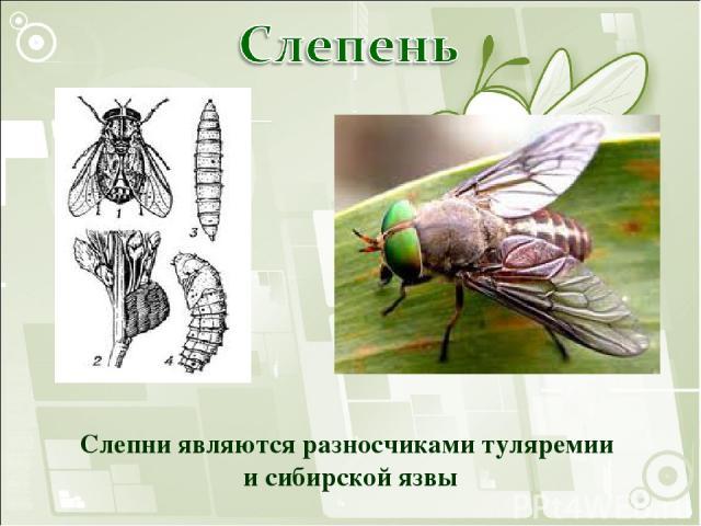 Слепни являются разносчиками туляремии и сибирской язвы
