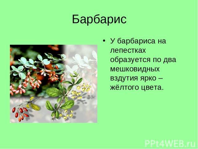 Барбарис У барбариса на лепестках образуется по два мешковидных вздутия ярко – жёлтого цвета.