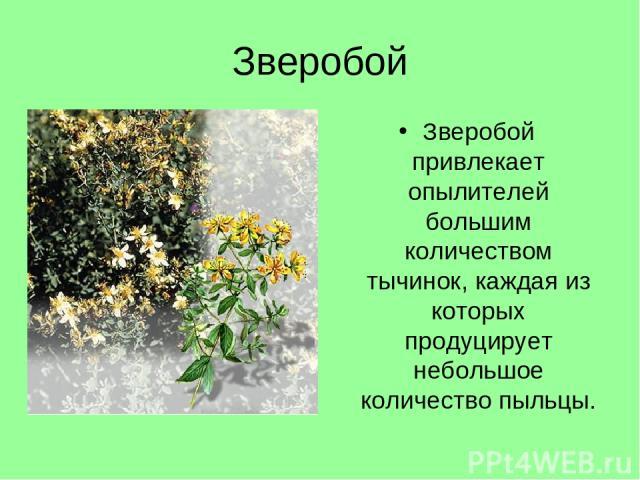 Зверобой Зверобой привлекает опылителей большим количеством тычинок, каждая из которых продуцирует небольшое количество пыльцы.