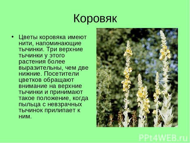 Коровяк Цветы коровяка имеют нити, напоминающие тычинки. Три верхние тычинки у этого растения более выразительны, чем две нижние. Посетители цветков обращают внимание на верхние тычинки и принимают такое положение, когда пыльца с невзрачных тычинок …