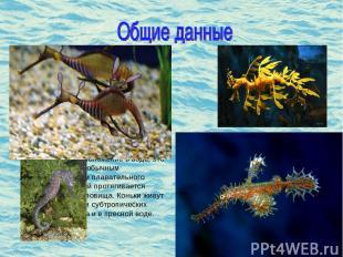 Морской конек (лат. Hyppocampus)- род небольших костистых рыб семейства морских