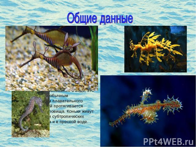 Морской конек (лат. Hyppocampus)- род небольших костистых рыб семейства морских игл. В роду представлено 32 вида. Размеры коньков от 2 до 40 см. Всевозможные наросты на теле позволяют коньку быть незаметным среди водорослей, таким образом он защищае…