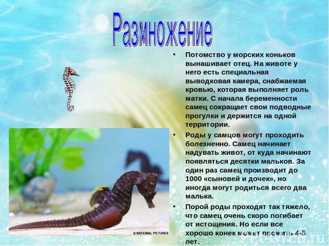 Потомство у морских коньков вынашивает отец. На животе у него есть специальная выводковая камера, снабжаемая кровью, которая выполняет роль матки. С начала беременности самец сокращает свои подводные прогулки и держится на одной территории. Роды у с…