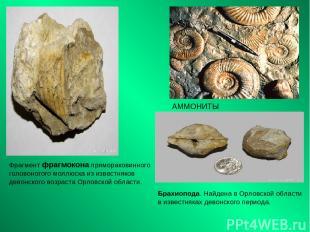 АММОНИТЫ Фрагмент фрагмокона прямораковинного головоногого моллюска из известняк