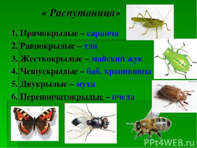 « Распутаница» 1. Прямокрылые – саранча 2. Равнокрылые – тля 3. Жесткокрылые – майский жук 4. Чешуекрылые – баб. крапивница 5. Двукрылые – муха 6. Перепончатокрылые – пчела