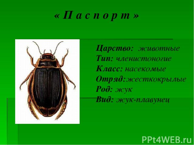 « П а с п о р т » Царство: животные Тип: членистоногие Класс: насекомые Отряд:жесткокрылые Род: жук Вид: жук-плавунец