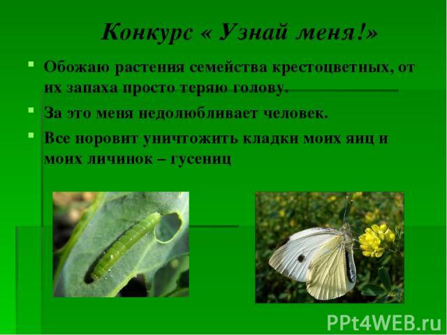 Конкурс « Узнай меня!» Обожаю растения семейства крестоцветных, от их запаха просто теряю голову. За это меня недолюбливает человек. Все норовит уничтожить кладки моих яиц и моих личинок – гусениц