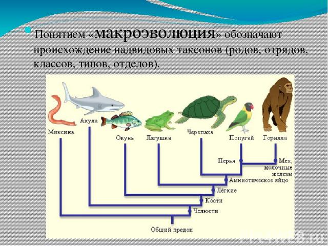 Понятием «макроэволюция» обозначают происхождение надвидовых таксонов (родов, отрядов, классов, типов, отделов).