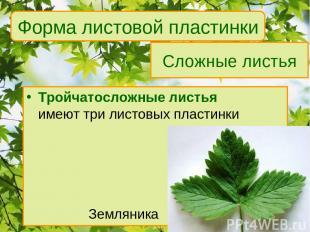 Сложные листья Тройчатосложные листья имеют три листовых пластинки Земляника Фор