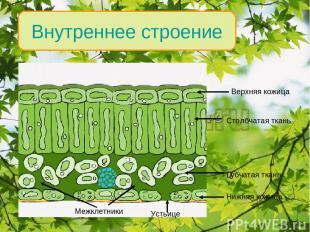 Внутреннее строение Верхняя кожица Столбчатая ткань Губчатая ткань Нижняя кожица