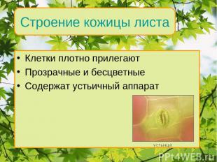 Клетки плотно прилегают Прозрачные и бесцветные Содержат устьичный аппарат Внутр