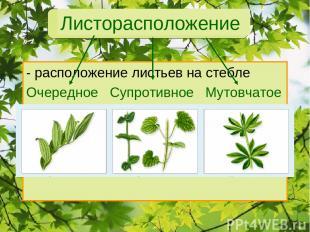 Листорасположение - расположение листьев на стебле Очередное Супротивное Мутовча