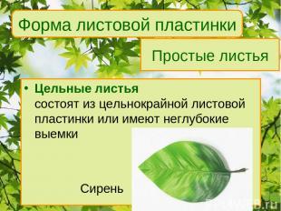 Простые листья Цельные листья состоят из цельнокрайной листовой пластинки или им