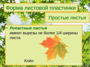 Простые листья Лопастные листья имеют вырезы не более 1/4 ширины листа Клён Форм