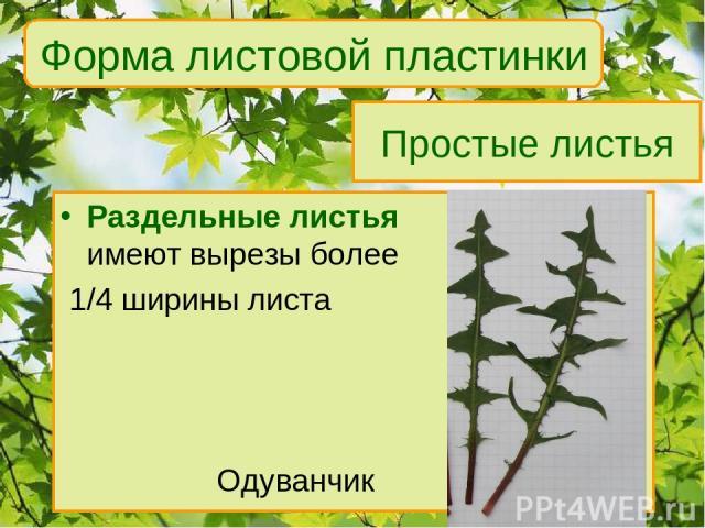 Простые листья Раздельные листья имеют вырезы более 1/4 ширины листа Одуванчик Форма листовой пластинки