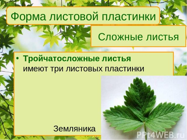 Сложные листья Тройчатосложные листья имеют три листовых пластинки Земляника Форма листовой пластинки