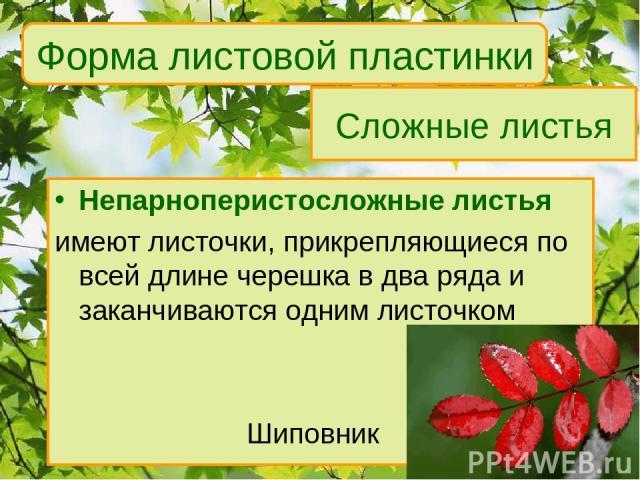 Сложные листья Непарноперистосложные листья имеют листочки, прикрепляющиеся по всей длине черешка в два ряда и заканчиваются одним листочком Шиповник Форма листовой пластинки