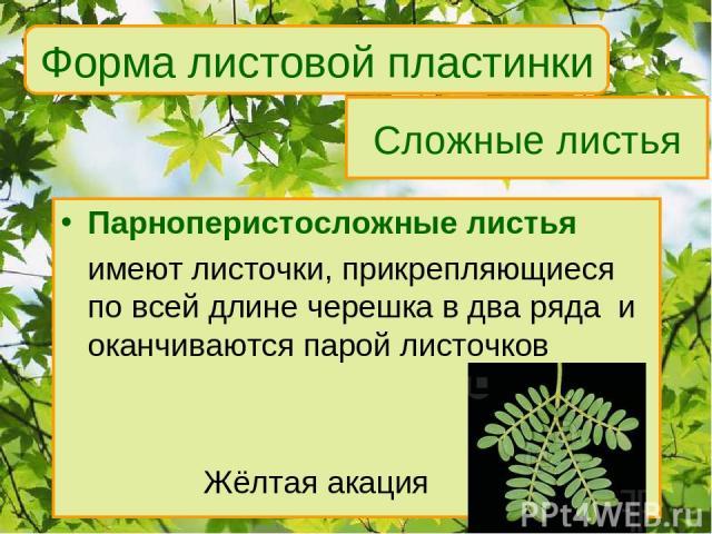 Сложные листья Парноперистосложные листья имеют листочки, прикрепляющиеся по всей длине черешка в два ряда и оканчиваются парой листочков Жёлтая акация Форма листовой пластинки