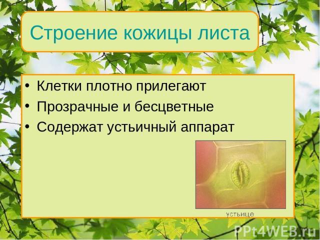 Клетки плотно прилегают Прозрачные и бесцветные Содержат устьичный аппарат Внутреннее строение Строение кожицы листа