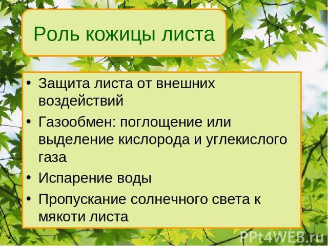 Защита листа от внешних воздействий Газообмен: поглощение или выделение кислорода и углекислого газа Испарение воды Пропускание солнечного света к мякоти листа Роль кожицы листа