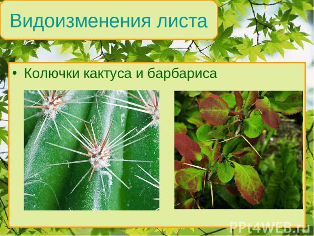 Колючки кактуса и барбариса Видоизменения листа
