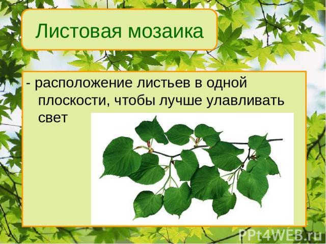 - расположение листьев в одной плоскости, чтобы лучше улавливать свет Листовая мозаика