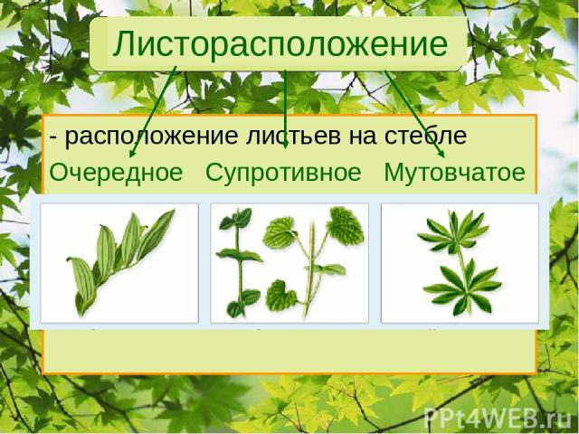 Листорасположение - расположение листьев на стебле Очередное Супротивное Мутовчатое