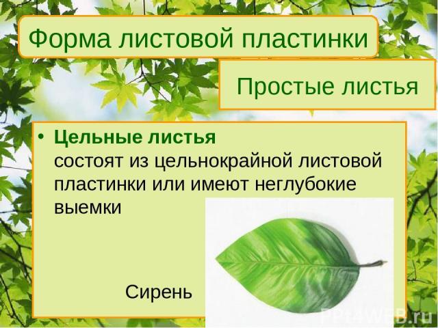 Простые листья Цельные листья состоят из цельнокрайной листовой пластинки или имеют неглубокие выемки Сирень Форма листовой пластинки