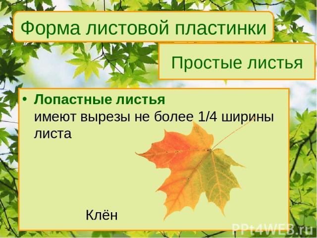Простые листья Лопастные листья имеют вырезы не более 1/4 ширины листа Клён Форма листовой пластинки