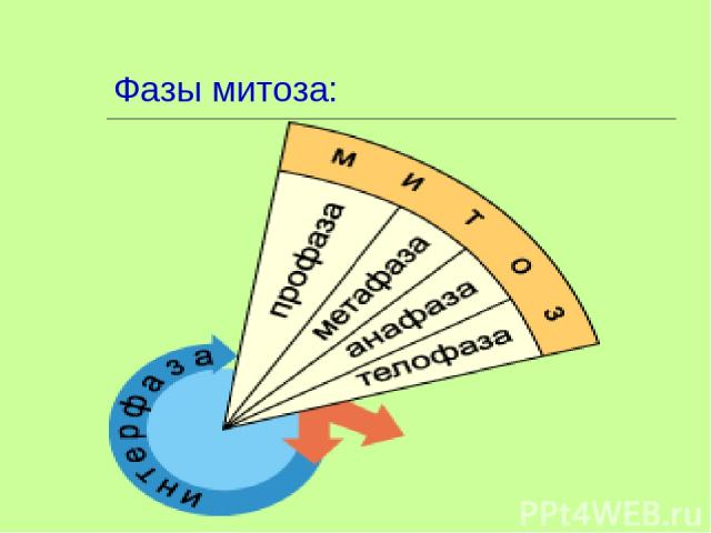 Фазы митоза: