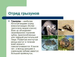 Отряд грызунов Грызуны – наиболее богатый видами отряд млекопитающих (более трет