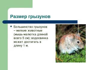 Размер грызунов Большинство грызунов – мелкие животные (мышь-малютка длиной всег