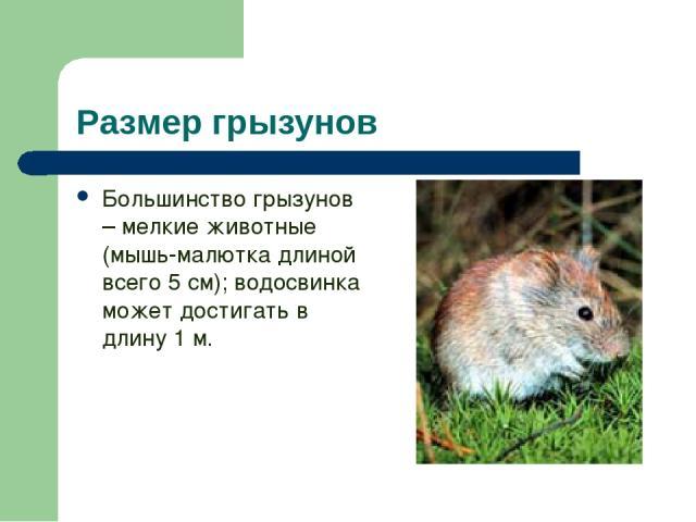 Размер грызунов Большинство грызунов – мелкие животные (мышь-малютка длиной всего 5 см); водосвинка может достигать в длину 1 м.