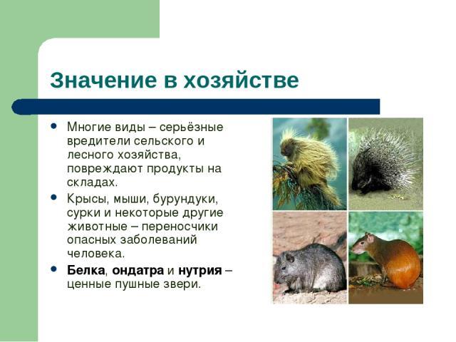 Значение в хозяйстве Многие виды – серьёзные вредители сельского и лесного хозяйства, повреждают продукты на складах. Крысы, мыши, бурундуки, сурки и некоторые другие животные – переносчики опасных заболеваний человека. Белка, ондатра и нутрия – цен…