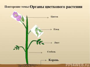 Органы цветкового растения Стебель Лист Цветок Плод Корень Повторение темы: