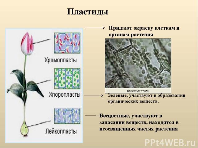 Пластиды Придают окраску клеткам и органам растения Бесцветные, участвуют в запасании веществ, находятся в неосвященных частях растения Зеленые, участвуют в образовании органических веществ.