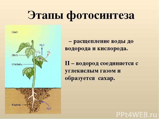 Этапы фотосинтеза Ι – расщепление воды до водорода и кислорода. II – водород соединяется с углекислым газом и образуется сахар.