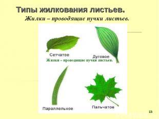 Типы жилкования листьев. Жилки – проводящие пучки листьев. Жилки – проводящие пу