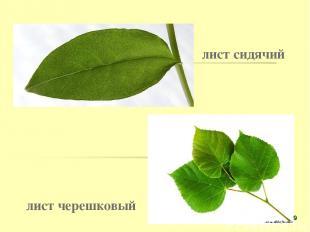 лист сидячий лист черешковый *
