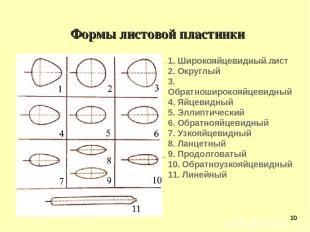 Формы листовой пластинки 1. Широкояйцевидный лист 2. Округлый 3. Обратноширокояй