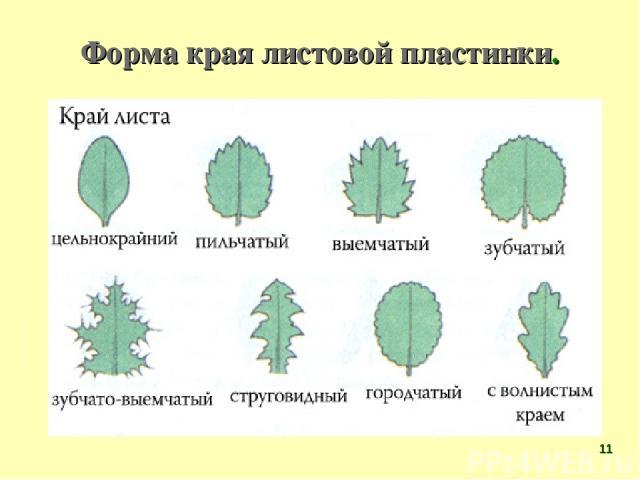 Форма края листовой пластинки. *