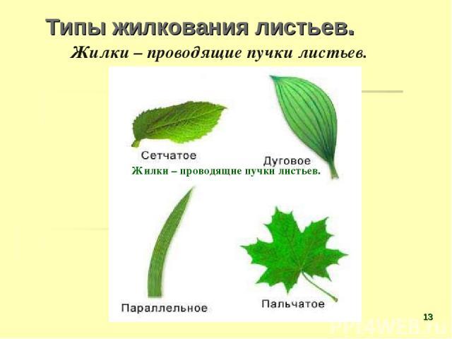 Типы жилкования листьев. Жилки – проводящие пучки листьев. Жилки – проводящие пучки листьев. *