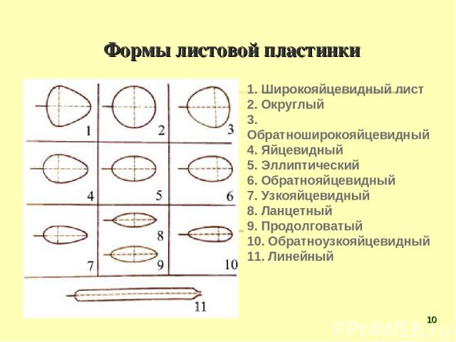 Формы листовой пластинки 1. Широкояйцевидный лист 2. Округлый 3. Обратноширокояйцевидный 4. Яйцевидный 5. Эллиптический 6. Обратнояйцевидный 7. Узкояйцевидный 8. Ланцетный 9. Продолговатый 10. Обратноузкояйцевидный 11. Линейный *