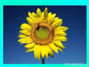 Стоит он задумчивый, В жёлтом венце, Темнеют веснушки На жёлтом лице