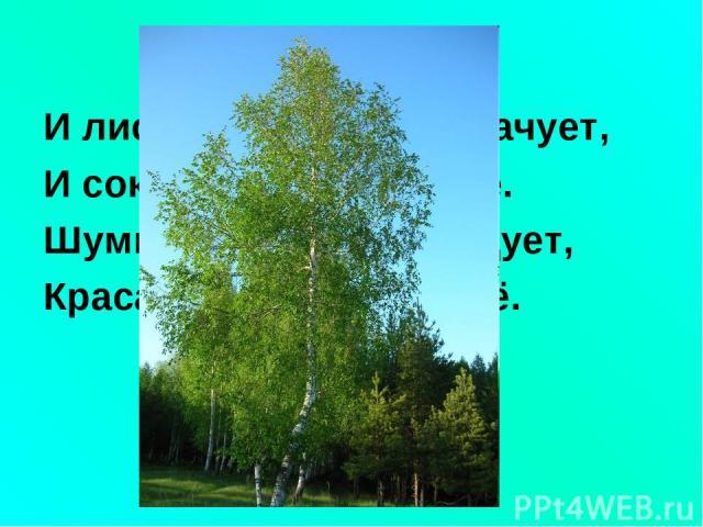 И лист и почки - всё врачует, И сок - целебное сырьё. Шумит от ветра, если дует, Краса России - ствол её.