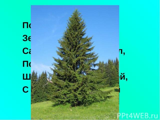 По округе славится Зелёная красавица: Сарафан - как колокол, По земле да волоком, Шапочка - с опушечкой, С острою макушечкой