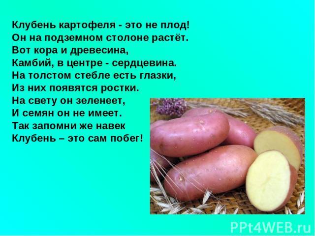 Клубень картофеля - это не плод! Он на подземном столоне растёт. Вот кора и древесина, Камбий, в центре - сердцевина. На толстом стебле есть глазки, Из них появятся ростки. На свету он зеленеет, И семян он не имеет. Так запомни же навек Клубень – эт…