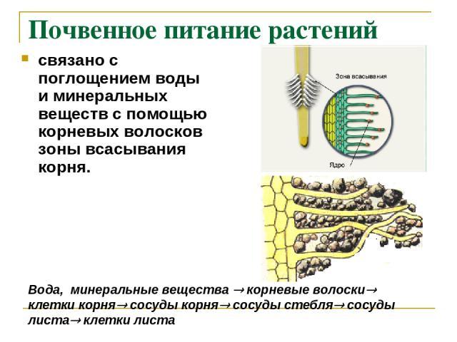 Почвенное питание растений связано с поглощением воды и минеральных веществ с помощью корневых волосков зоны всасывания корня. Вода, минеральные вещества корневые волоски клетки корня сосуды корня сосуды стебля сосуды листа клетки листа
